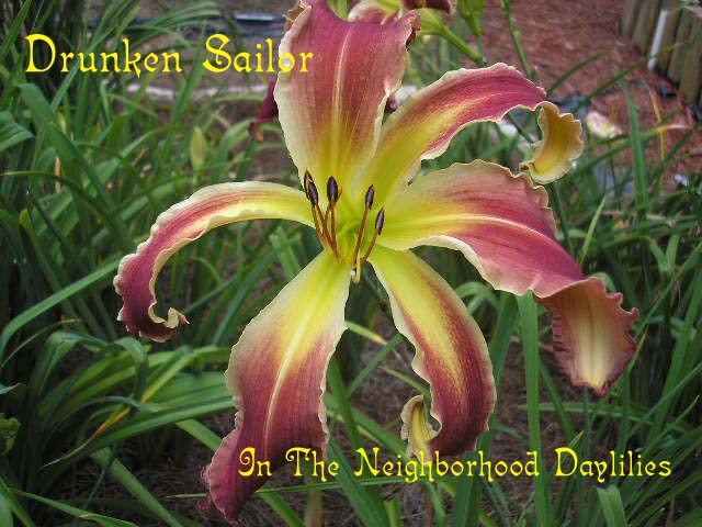 Drunken Sailor  (Murphy, 2006)-CLICK PICTURE;Daylily Drunken Sailor;Murphy Daylily;Reddish Purple w' Chartreuse Throat & Ruffled Cream Edges Daylily;Unusual Form Daylily;Mid To Late Season Daylily;Reblooming Daylilies;Diploid Daylily;Semi-evergreen Daylily