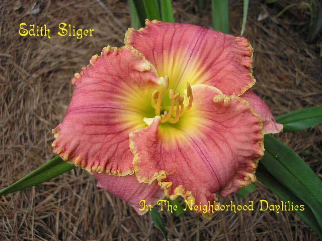 Edith Sliger  (Salter, 2000)-CLICK PICTURE;Daylily Edith Sliger;Salter Daylily;Rose Pink Coral Blend w' Gold Edge Daylily;Award Winning Daylily;Early To Midseason Daylily;Reblooming Daylilies;Tetraploid Daylily;Semi-evergreen Daylily