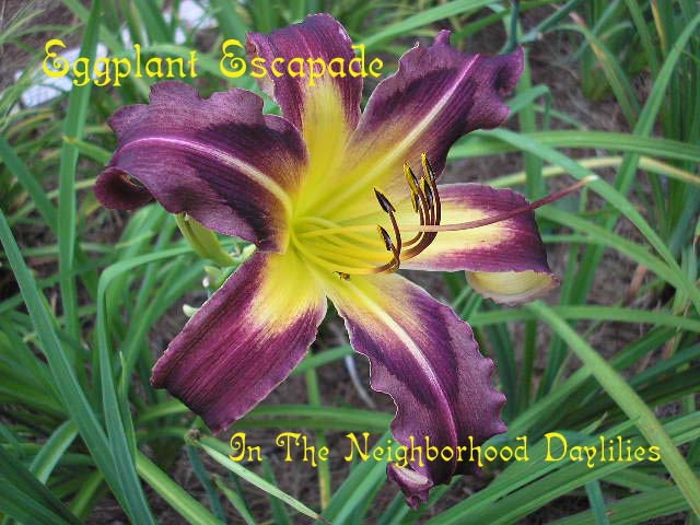 Eggplant Escapade  (Reed, 1996)-CLICK PICTURE;Daylily Eggplant Escapade;Reed Daylily;Eggplant Purple Daylily;Mid To Late Season Daylilies;Extended Blooming Time Daylilies;Diploid Daylily;Dormant Daylily