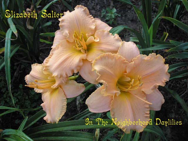 Elizabeth Salter  (Salter, 1990)-CLICK PICTURE;Daylily Elizabeth Salter;Salter Daylily;Palest Melon Pink w' Lime Heart Daylily;Award Winning Daylily;Midseason Daylily;Reblooming Daylilies;Tetraploid Daylily;Semi-evergreen Daylily