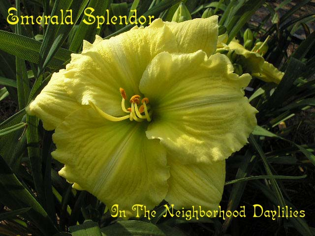 Emerald Splendor  (Wilson, T.,   1993)-Daylily;Daylilies;Daylillies;CLICK IMAGE TO ENLARGE;Emerald Splendor Daylily;T. Wilson Daylily;Award Winning Daylily;Reblooming Daylilies;Yellow w' Green Cast Daylily;Extended Bloom Time Daylily