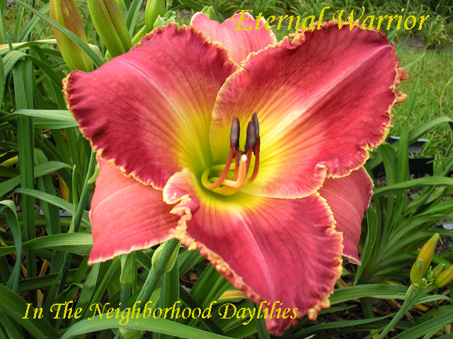 Eternal Warrior  (Salter,  2003)-Daylily;Daylilies;Click Picture;Eternal Warrior Daylily;Salter 2003 Daylily;Rose Blend w' Light Watermark Daylily;Reblooming Daylilies;Tall Daylilies