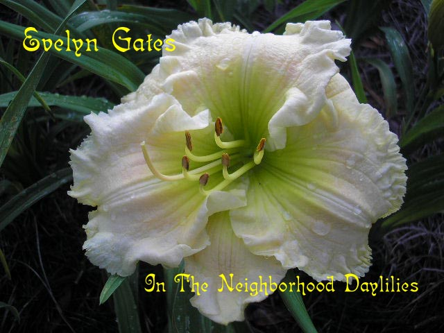 Evelyn Gates  (Gates, L., 1997)-CLICK PICTURE;Daylily Evelyn Gates;Lee Gates Daylily;Ruffled Near White Self w' Green Throat Daylily;Fragrant Daylily;Early Season Daylily;Reblooming Daylilies;Extended Blooming Time Daylilies;Diploid Daylily;Evergreen Daylily