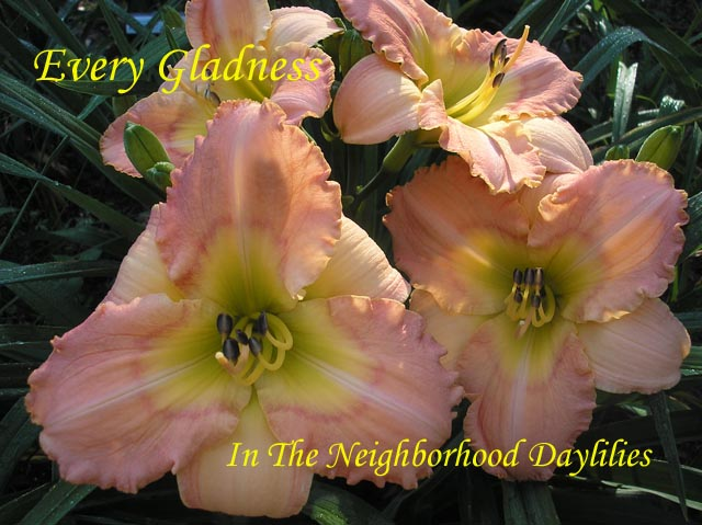 Every Gladness  (Kirchhoff, D., 2000)-CLICK PICTURE;Daylily Every Gladness;Kirchhoff,D. Daylily;Peach Pink w' Rose Pink Halo Daylily;Extra Early Season Daylily;Reblooming Daylilies;Extended Blooming Time Daylily;Tetraploid Daylily;Evergreen Daylily