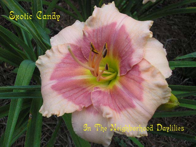 Exotic Candy  (Stamile, 1995)-Daylily;Day Lilly;Daylilies;CLICK IMAGE TO ENLARGE;Daylily Exotic Candy;Stamile 1995 Daylily;Light Pink w' Dark Rose Red Eye Daylily;Very Fragrant Daylily;Midseason Daylily;Reblooming Daylilies;Affordable Daylilies;Tetraploid Daylily;Dormant Daylily