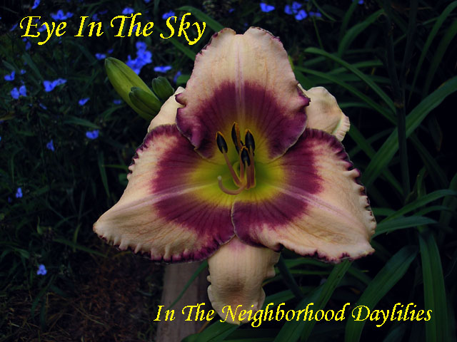 Eye In The Sky  (Collins, T., 1999)-CLICK PICTURE;Daylily Eye In The Sky;T.Collins Daylily;Cream w' Plum Eye & Edge Daylily;Early to Midseason Daylily;Reblooming Daylilies;Fragrant Daylily;Extended Blooming Time Daylilies;Tetraploid Daylily;Evergreen Daylily
