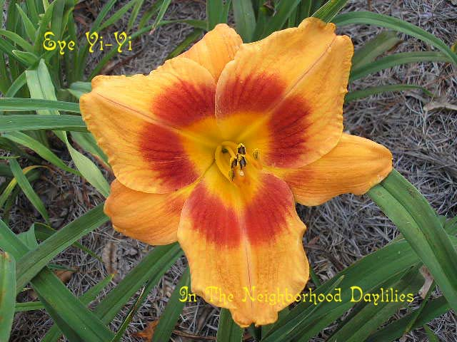 Eye Yi-Yi McCroskey, 1988-CLICK PICTURE;Daylily Eye Yi-Yi;McCroskey Daylily;Bronze Bitone w' Red Eye Daylily;Award Winning Daylily;Early Season Daylily;Reblooming Daylilies;Affordable Daylilies;Tetraploid Daylily;Evergreen Daylily
