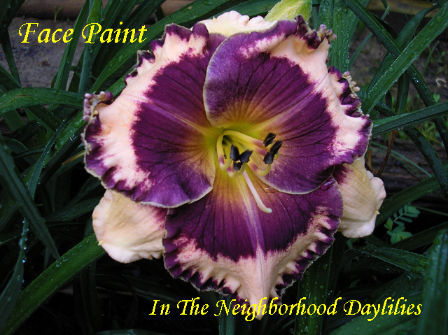 Facepaint  (Stamile,  2006)-Daylily;Daylilies;Daylillies;CLICK PICTURE TO ENLARGE;Facepaint Daylily;Stamile 2006 Daylily;Orchid Cream w' Black Purple Eye & Edge Daylily;Reblooming Daylilies;Evergreen Daylily