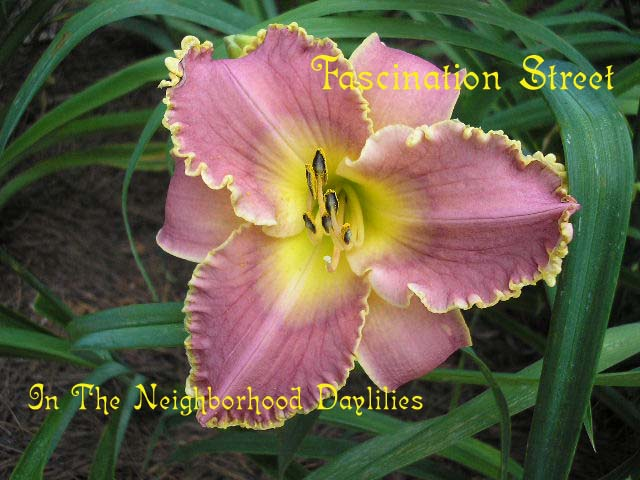 Fascination Street  (Rice, J., 2000)-CLICK PICTURE;Daylily Fascination Street;J.Rice Daylily;Rose w' Darker Band & Gold Edge Daylily;Midseason Daylily;Reblooming Daylilies;Extended Blooming Time Daylilies;Tetraploid Daylily;Semi-evergreen Daylily