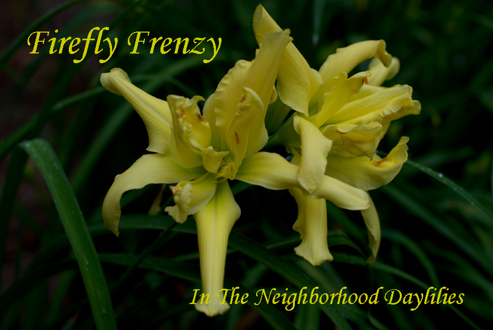 Firefly Frenzy  (Joiner, J.,  2002)-CLICK ON PICTURE;Daylily;Daylilies;Firefly Frenzy Daylily;Lemon Drop Self Daylily;Award Winning Daylily;Reblooming Daylilies;Double Daylily