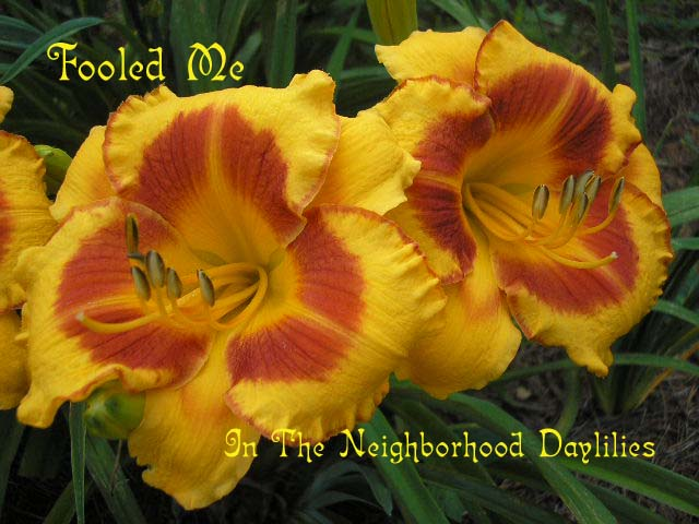 Fooled Me (Hein, 1990)-CLICK PICTURE;Daylily Fooled Me;Hein Daylily;Golden Yellow w' Red Edge & Deep Red Eye Daylily;Award Winning Daylily;Early to Midseason Daylily;Extended Blooming Time Daylilies;Tetraploid Daylily;Dormant Daylily