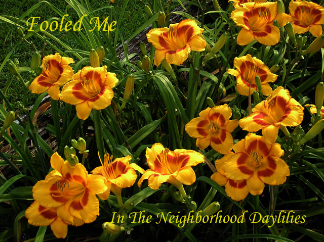Fooled Me Hein, 1990-CLICK PICTURE;Daylily Fooled Me;Hein Daylily;Golden Yellow w' Red Edge & Deep Red Eye Daylily;Award Winning Daylily;Early to Midseason Daylily;Extended Blooming Time Daylilies;Tetraploid Daylily;Dormant Daylily