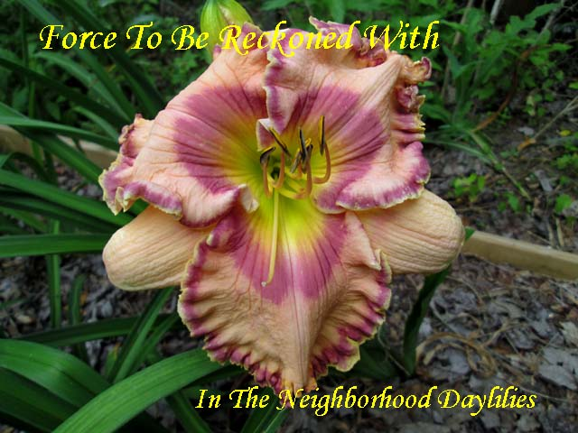 Force To Be Reckoned With  (Harry,  2008)-Daylily;Daylilies;CLICK ON IMAGE TO ENLARGE;Force To Be Reckoned With Daylily;Nichole Harry 2008 Daylily;Light Almond w'Purple Blue Eye & Edge Daylily;Reblooming Daylilies