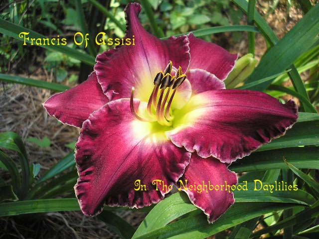 Francis Of Assisi  (Moldovan, 1994)-Daylily;Daylilies;CLICK ON IMAGE TO ENLARGE;Daylily Francis Of Assisi;Moldovan 1994 Daylily;Burgundy Red w' Bold White Picotee Edge Daylily;Award Winning Daylily;Midseason Daylily;Reblooming Daylilies;Fragrant Daylily;Extended Blooming Time Daylilies;Tetraploid Daylily;Semi-evergreen Daylily