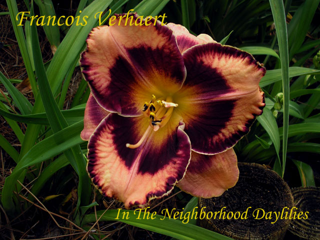 Francois Verhaert   (Stamile, 2001)-Daylily;Daylilies;CLICK ON IMAGE TO ENLARGE;Daylily Francois Verhaert;2001 Stamile Daylily;Orchid w' Plum Violet Eye & Edge Daylily;Award Winning Daylily;Fragrant Daylily;Early To Midseason Daylily;Reblooming Daylilies;Tetraploid Daylily;Evergreen Daylily