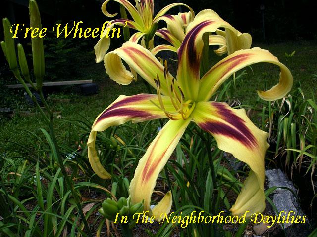 Free Wheelin'  (Stamile,  2004)-Daylily;Daylilies;Free Wheelin' Daylily;Stamile 2004 Daylily;Award Winning Daylily;Spider Daylily;Reblooming Daylilies