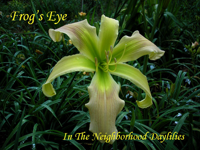 Frog's Eye  (Stamile,  2004)-Daylily;Daylilies;Frog's Eye Daylily;Stamile 2004 Daylily;Unusual Form Daylily;Reblooming Daylilies;Extra Early Daylily