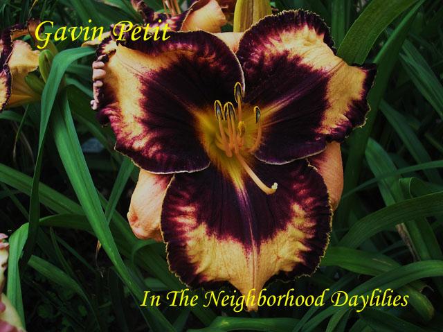 Gavin Petit   Petit,  (2004)-Daylily;Daylilies;Daylillies;Gavin Petit Daylily;Petit 2004 Daylily;Award Winning Daylily;Fragrant Daylilies;Tangerine w' Black Eye & Edge Daylily;Reblooming Daylilies;