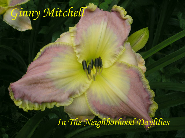 Ginny Mitchell  (Mitchell, K.  2003)-Daylily;Daylilies;Daylillies;Ginny Mitchell Daylily;K.Mitchell 2003 Daylily;Mauve w' Blue Gray Eye & Blue Lavender Yellow Green Edge Daylily;Reblooming Daylilies;Tetraploid Daylilies;Extended Bloom Time Daylily