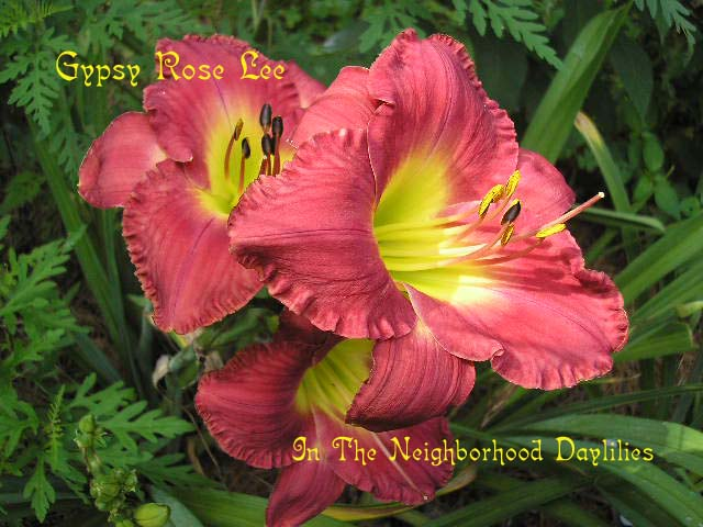 Gypsy Rose Lee  (Moldovan, 1998)-CLICK PICTURE;Daylily Gypsy Rose Lee;Moldovan Daylily;Rose Coral Blend w' Creamy Watermark Daylily;Perennial Plants;Early To Midseason Daylily;Reblooming Daylilies;Extended Blooming Time Daylilies;Tetraploid Daylily;Semi-evergreen Daylily