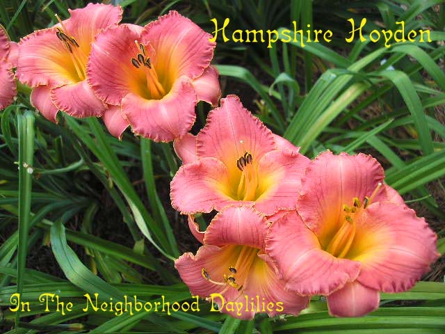 Hampshire Hoyden (Salter, E.H., 2000)-CLICK PICTURE;Daylily Hampshire Hoyden;E.H.Salter Daylily;Rose Pink Blend Daylily;Award Winning Daylily;Midseason Daylily;Reblooming Daylilies;Perennial Plants;Affordable Daylilies;Tetraploid Daylily;Semi-evergreen Daylily