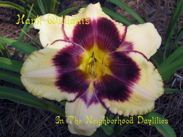 Hank Williams  (Grace & Smith 2004)-CLICK PICTURE;Daylily Hank Williams;Grace & Smith Daylily;Cream w' Dark Red Purple Eye & Edge Daylily;Award Winning Daylily;Reblooming Daylilies;Fragrant Daylilies