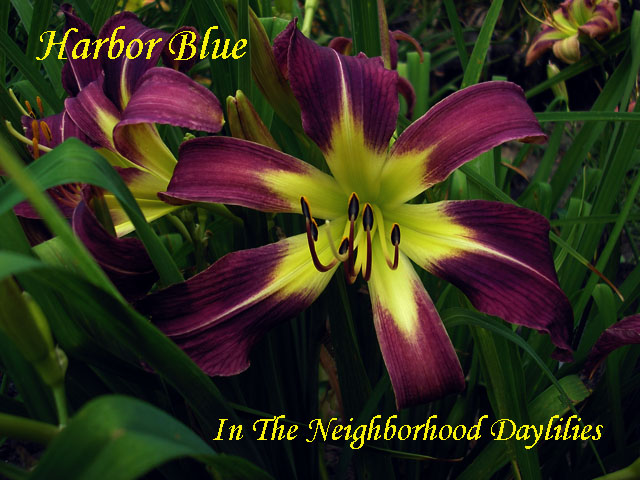 Harbor Blue  (Lake,  1961)-Daylily;Daylilies;CLICK ON IMAGE TO ENLARGE;Daylily Harbor Blue;Lake Daylily;Violet Blue Self Daylily;Spider Daylilies;Daylily Pictures;Perennials;Affordable Daylilies;Midseason Daylilies;Reblooming Daylilies