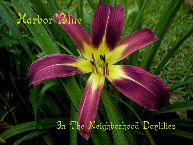 Harbor Blue  Lake,  1961-CLICK PICTURE;Daylily Harbor Blue;Lake Daylily;Violet Blue Self Daylily;Spider Daylilies;Daylily Pictures;Perennials;Affordable Daylilies;Midseason Daylilies;Reblooming Daylilies