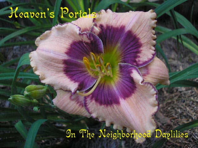 Heaven's Portals (Carpenter, J., 2002)-CLICK PICTURE;Daylily Heaven's Portals;J.Carpenter Daylily;Salmon w' Purple Eye & Edge Daylily;Perennial Plants;Early To Midseason Daylily;Reblooming Daylilies;Tetraploid Daylily;Evergreen Daylily