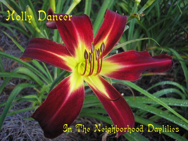 Holly Dancer  (Warrell, 1988)-CLICK PICTURE;Daylily Holly Dancer;Warrel Daylily;Brilliant Red w'Yellow To Green Throat Daylily;Award Winning Daylily;Spider Daylily;Extended Blooming Time Daylilies;Midseason Daylily;Perennial Plants;Diploid Daylily;Dormant Daylily