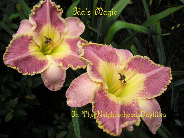 Ida' Magic  (Munson, I., 1988)-Daylily;Daylilies;Daylillies;CLICK IMAGE TO ENLARGE;Daylily Ida's Magic;1988I.Munson Daylily;Amber Peach w' Gold Edge Daylily;Award Winning Daylily;Perennial Plants;Affordable Daylilies;Early To Midseason Daylily;Reblooming Daylilies; Tetraploid Daylily;Evergreen Daylily