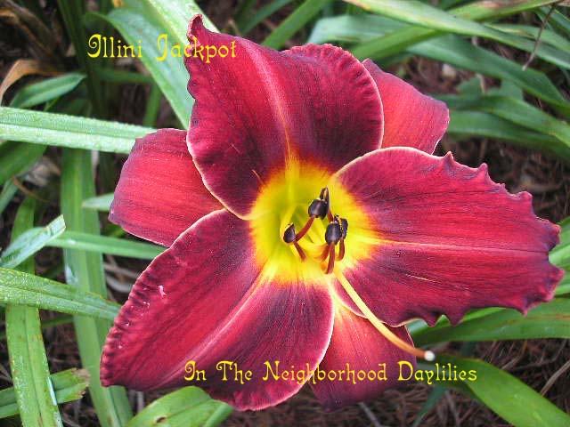 Illini Jackpot  (Varner, 1981)-CLICK PICTURE;Daylily Illini Jackpot;Varner Daylily;Red Self Daylily;Award Winning Daylily;Perennial Plants;Midseason Daylily;Affordable Daylilies;Tetraploid Daylily;Dormant Daylily