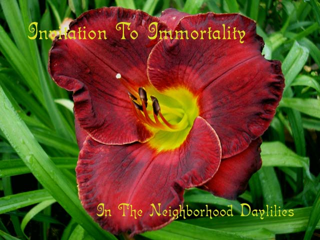 Invitation To Immortality  (Kirchhoff, D., 2000)-Daylily;Daylilies;CLICK ON IMAGE TO ENLARGE;Daylily Invitation To Immortality;D.Kirchhoff Daylily;Chocolate Burgundy w' Blue Overtones & Garnet Ruby Cherry Halo Daylily;Award Winning Daylily;Early Season Daylily;Reblooming Daylilies;Extended Blooming Time Daylilies;Perennials;Tetraploid Daylily;Evergreen Daylily