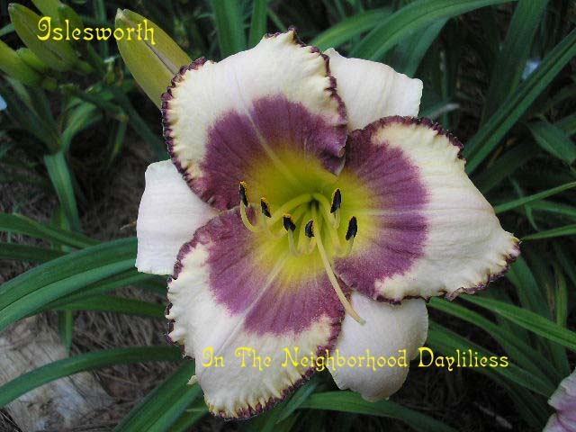 Islesworth  (Stamile, 1997)-CLICK PICTURE;Daylily Islesworth;Stamile Daylily;Cream w' Purple Eye & Edge Daylily;Award Winning Daylily;Fragrant Daylily;Early To Midseason Daylily;Reblooming Daylilies;Perennials;Affordable Daylilies;Tetraploid Daylily;Evergreen Daylily