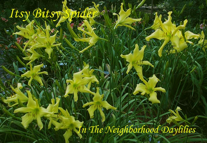 Itsy Bitsy Spider   (Bishop, H., 1990)   Four Fans-CLICK PICTURE;Daylily Itsy Bitsy Spider;H.Bishop Daylily;Lemon Yellow Self Daylily;Perennials;Early Season Daylily;Unusual Form Daylilies;Diploid Daylily;Dormant Daylily