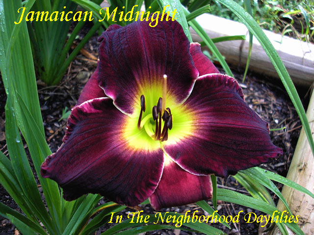 Jamaican Midnight   (Salter, J., 1994)-CLICK PICTURE;Daylily Jamaican Midnight;J.Salter Daylily;Intense Deep Black-red Purple w' Small Green Throat Daylily;Perennials;Midseason Daylily;Reblooming Daylilies;Affordable Daylilies;Tetraploid Daylily;Semi-evergreen Daylily