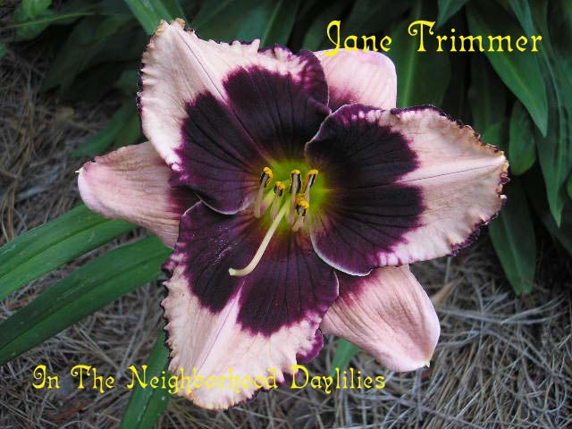 Jane Trimmer   (Trimmer,  2002)-Daylilies For Sale;Daylily Jane Trimmer;CLICK ON IMAGE TO ENLARGE;Trimmer 2002 Daylly;Pale Lavender w' Black Purple Eye & Edge Daylily;Award Winning Daylily;Reblooming Daylilies