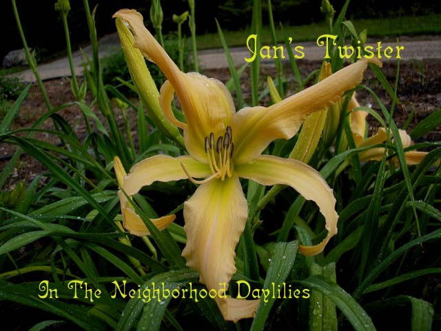 Jan's Twister  (Joiner, J., 1991)-CLICK PICTURE;Daylily Jan's Twister;J.Joiner Daylily;Peach Self Daylily;Award Winning Daylily;Unusual Form Daylily;Perennials;Early To Midseason Daylily;Reblooming Daylilies;Affordable Daylilies;Diploid Daylily;Evergreen Daylily