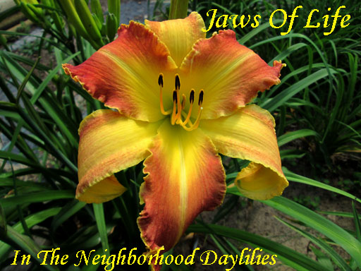 Jaws Of Life  (Gossard, 2003)-Daylily;Daylilies;CLICK IMAGE TO ENLARGE;Daylily Jaws Of Life;Gossard Daylily;Red Yellow Blend w' Yellow Tooth Edge Daylily;Unusual Form Daylily;Perennial;Mid To Late Season Daylily;Reblooming Daylilies;Tetraploid Daylily;Evergreen Daylily