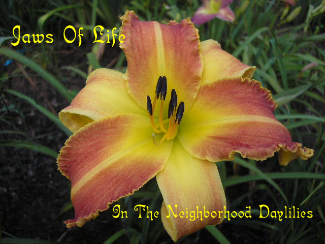 Jaws Of Life  (Gossard, 2003)-CLICK PICTURE;Daylily Jaws Of Life;Gossard Daylily;Red Yellow Blend w' Yellow Tooth Edge Daylily;Unusual Form Daylily;Perennial;Mid To Late Season Daylily;Reblooming Daylilies;Tetraploid Daylily;Evergreen Daylily
