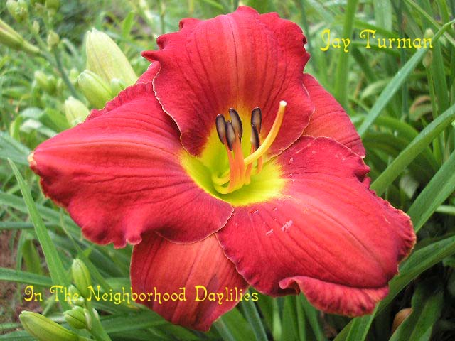 Jay Turman  (Kirchhoff, D., 1992)-CLICK PICTURE;Daylily Jay Turman;D.Kirchhoff Daylily;Dark Red Self w' Yellow To Green Throat Daylily;Award Winning Daylily;Early Season Daylily;Reblooming Daylilies;Perennials;Extended Blooming Time Daylilies;Affordable Daylilies;Tetraploid Daylily;Evergreen Daylily
