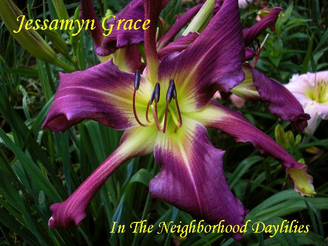 Jessamyn Grace   (Roberts, N., 2002)-CLICK PICTURE;Daylily Jessamyn Grace;N.Roberts Daylily;Light Purple w' Darker Eye Daylily;Unusual Form Daylily;Midseason Daylilies;Perennials;Diploid Daylily;Semi-evergreen Daylily