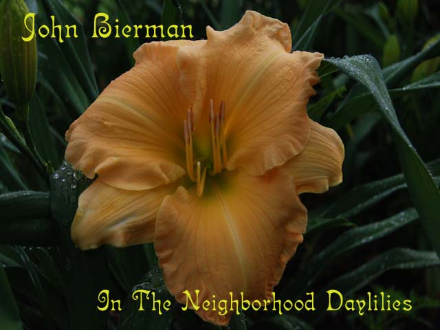 John Bierman   (Spalding, W.,1986)-CLICK PICTURE;Daylily John Bierman;W.Spalding Daylily;Apricot Blend Daylily;Affordable Daylilies;Perennials;Extra Early Season Daylily;Reblooming Daylilies;Diploid Daylily;Semi-evergreen Daylily