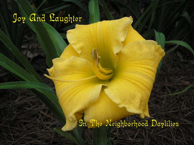 Joy And Laughter  (Kirchhoff, D.,  1995)-Daylily;Daylilies;Daylily Joy And Laughter;D. Kirchhoff 1995 Daylily;Award Winning Daylily;Golden Yellow Self Daylily;Reblooming Daylilies;Fragrant Daylilies;Nocturnal Daylily;Extended Bloom Time Daylily