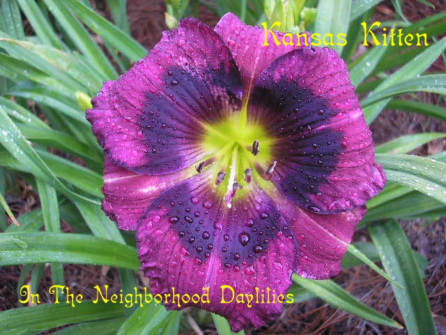 Kansas Kitten  (Carpenter, J., 2002)-CLICK PICTURE;Daylily Kansas Kitten;J.Carpenter Daylily;Lavender Purple w' Dark Purple Eye Daylily;Award Winning Daylily;Perennial;Midseason Daylily;Reblooming Daylilies;Fragrant Daylily;Diploid Daylily;Dormant Daylily