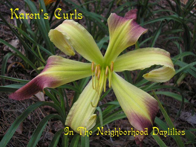 Karen's Curls  (Reinke, 1997)-CLICK PICTURE;Daylily Karen's Curls;Reinke Daylily;Lavender & Cream Bitone Daylily;Award Winning Daylily;Unusual Form Daylily;Perennial;Fragrant Daylilies;Midseason Daylily;Diploid Daylily;Dormant Daylily