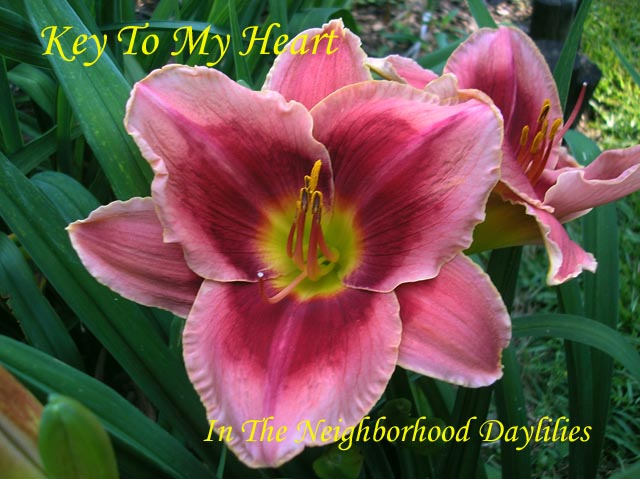 Key To My Heart   (Carr, 1999)-CLICK PICTURE;Daylily Key To Heart;Carr Daylily;Crimson w' Pale Pink Edge & White Picotee Daylily;Award Winning Daylily;Perennials;Early Season Daylily;Reblooming Daylilies;Tetraploid Daylily;Evergreen Daylily