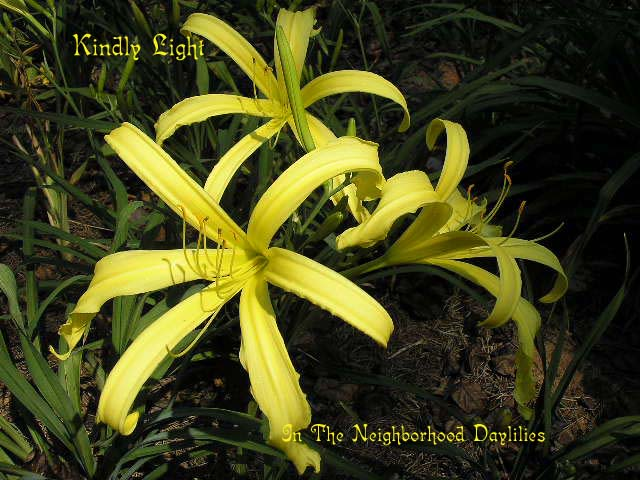 Kindly Light   (Bechtold, 1949)-CLICK PICTURE;Daylily Kindly Light;Bechtold Daylily;Light Yellow Green Self Daylily;Spider Daylily;Award Winning Daylily;Affordable Daylilies;Perennials;Midseason Daylily;Extended Blooming Time Daylilies;Diploid Daylily;Dormant Daylily
