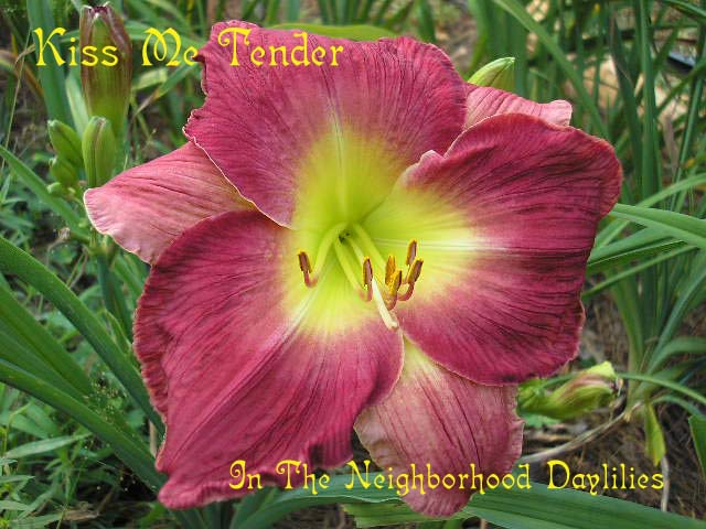 Kiss Me Tender   (Hansen, 1988)-CLICK PICTURE;Daylily Kiss Me Tender;Hansen Daylily;Rose Red w' Lighter Watermark Daylily;Fragrant Daylily;Affordable Daylilies;Perennials;Early To Midseason Daylily;Reblooming Daylilies;Extended Blooming Time Daylilies;Diploid Daylily;Semi-evergreen Daylily