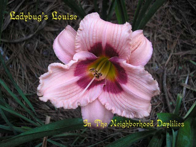 Ladybug's Louise  (Hansen,  1991)-Daylily;Daylilies;Daylillies;Daylily Ladybug's Louise;Hansen 1991 Daylily;Award Winning Daylily;Deep Pink w'Cranberry Eye Daylily;Reblooming Daylilies